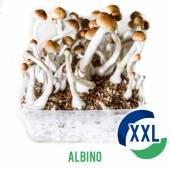 Albino XL Mycelium Box (2100 ML)